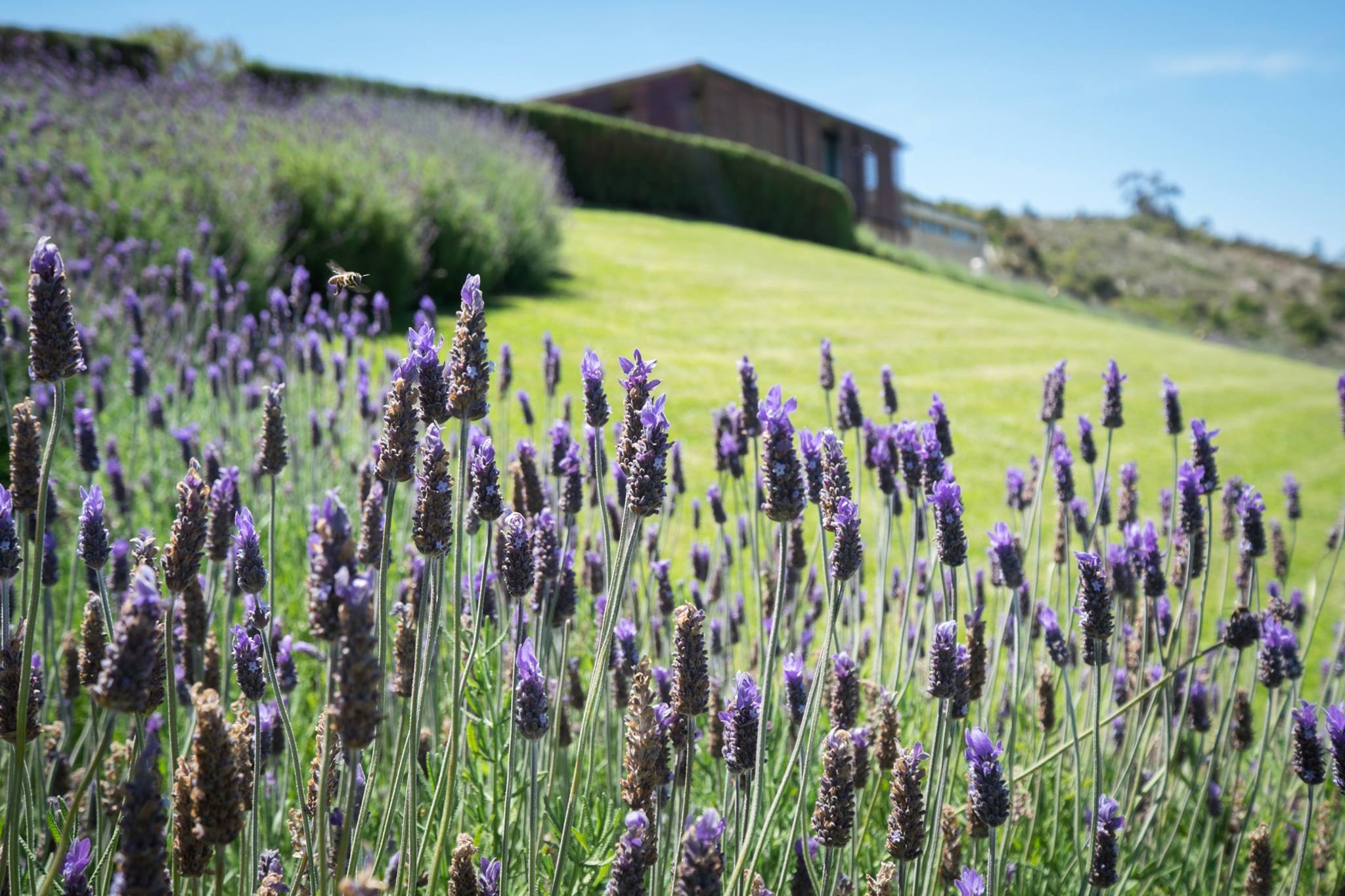 Lavender and garden